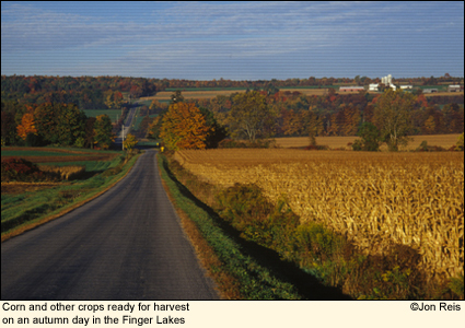 Corn and other crops ready for harvest on an autumn day in the Finger Lakes, New York